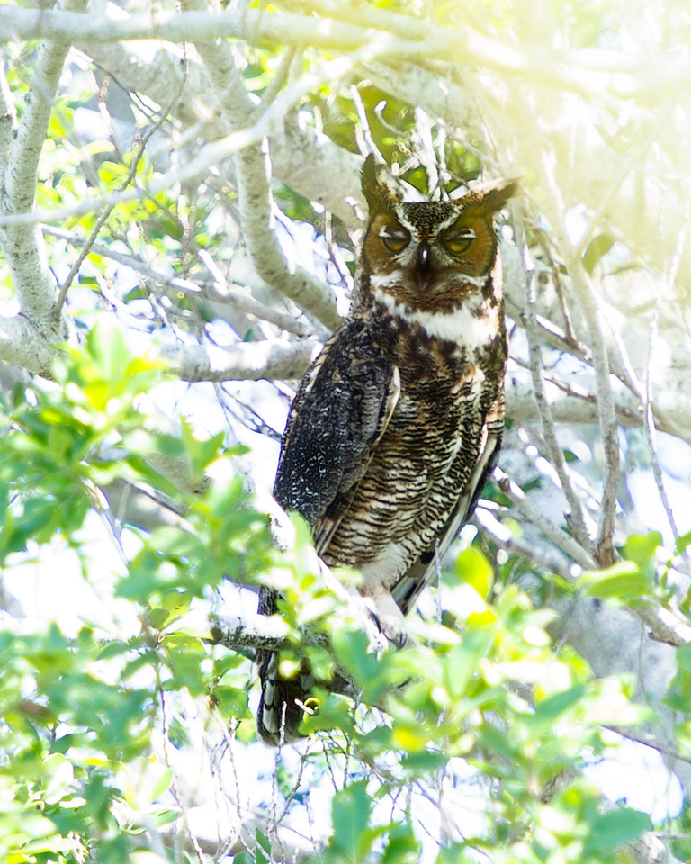 Daytime Nap - Great Horned Owl