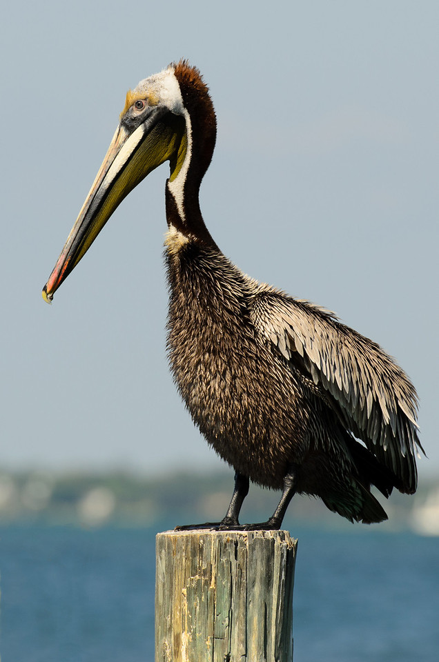 Handsome Brown Pelican